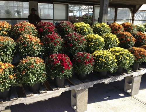 Fall Mums for End of Season Color!