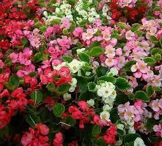 Begonia 'Bada Bing Series'