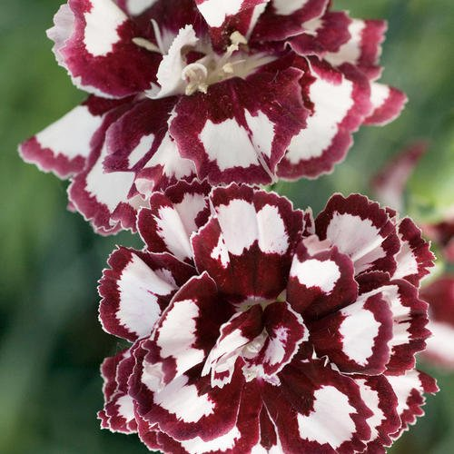 Dianthus Fruit Punch 'Coconut Punch' (Proven Winners)