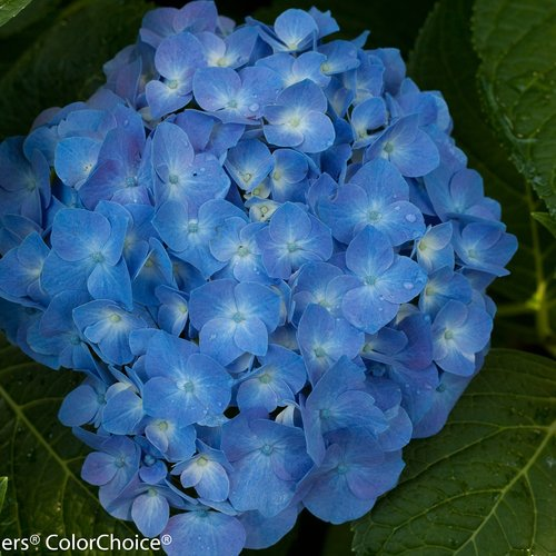 Hydrangea Let's Dance 'Blue Jangles'