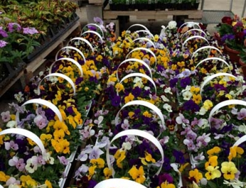 Pansy Baskets Are In!