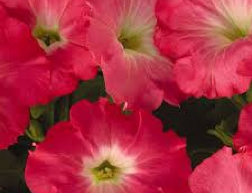 Wave Petunia 'Easy Wave Rosy Dawn'