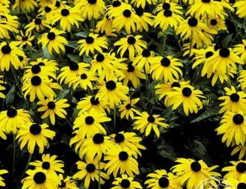 Black Eyed Susan: Distinguishing Between the Many Varieties