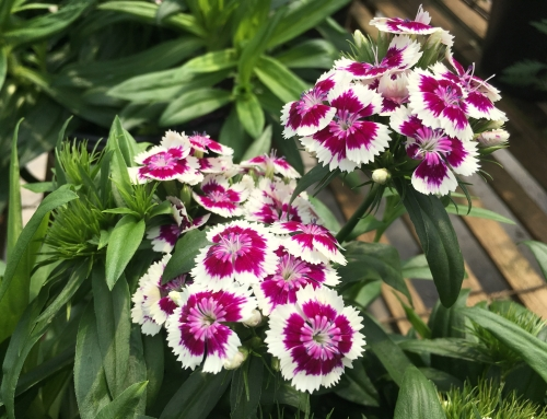 Sweet William Barbarini 'Purple Bicolor' and 'Purple-White Bicolor'