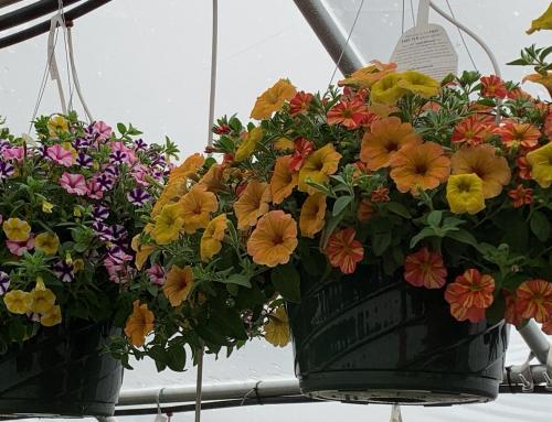 Kickstart the Season with Hanging Baskets.